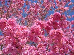 パウダルコの木